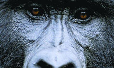 Coronavirus: les grands singes en péril?